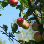 Apples hang on a branch in while a bright blue sky shines through the leaves